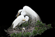 Great White Egret Family with chick