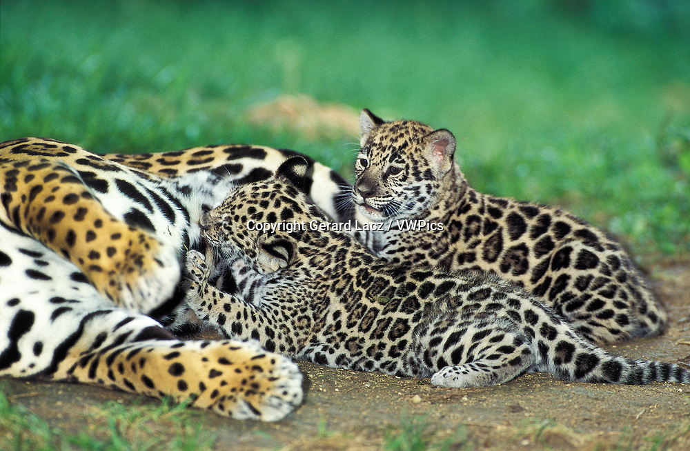 Jaguar, panthera onca, Female with Cub suckling
