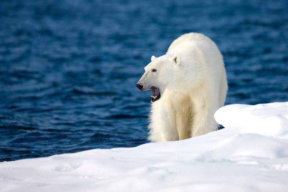 Norway, Svalbard, Spitsbergen Island, Polar Bear (Ursus maritimus) opens mouth while yawning on snow-covered iceberg along northern coastline