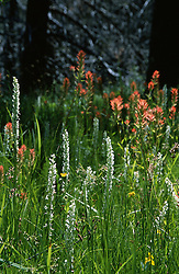 &quot;Alder Creek Wildflowers&quot;- Photographed along side of Alder Creek in the Tahoe Donner area of Truckee, CA.<br /> Photographed: May 2003