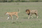 Kenya, Masai Mara, Lion's courtship and mating sequence