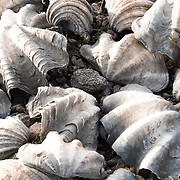 Clam Shell are using to dry the sea water and collect salt.