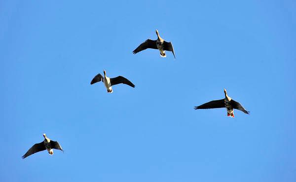 Nederland, Ubbergen, 18-2-2013Wilde grauwe ganzen in de Ooijpolder.Foto: Flip Franssen/Hollandse Hoogte