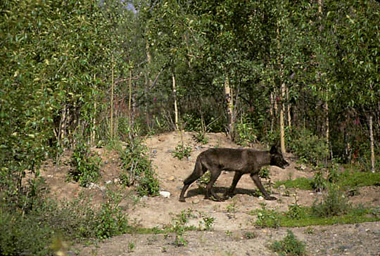 Gray Wolf, (Canis lupus) Black in Yukon Territory. Canada.