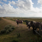 Horses wait and watch curiously by an inlake near the West coast of Denmark on a warm summers day. Much of the country side is a mix of wet lands and heathland and wind swept.