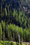 Mixed larch and fir provide a variety of greens, Eagle Cap Wilderness, Oregon