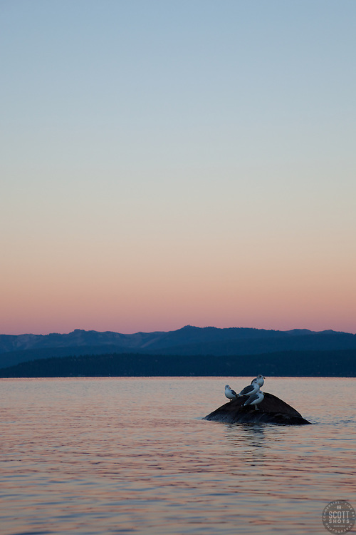 """""""Seagulls at Sunrise, Lake Tahoe 3"""" - These seagulls were photographed from a kayak at sunrise on Lake Tahoe, near Speed Boat Beach."""