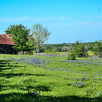 Texas bluebonnets and farmhouse in Ennis, TX