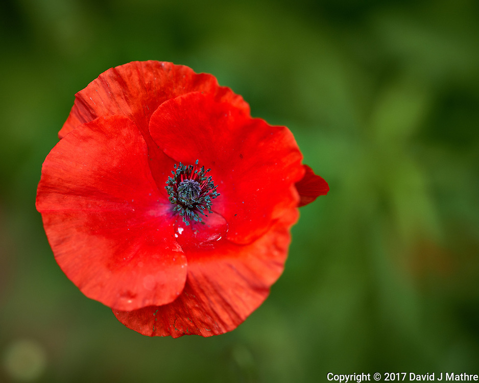 Red Poppy flower. Backyard spring nature in New Jersey. Image taken with a Fuji X-T2 camera and 90 mm f/2 lens (ISO 200, 90 mm, f/2, 1/6000 sec).
