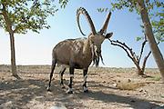 Israel, Negev Desert, Mitzpe Ramon Large male Nubian Ibex (Capra ibex nubiana)