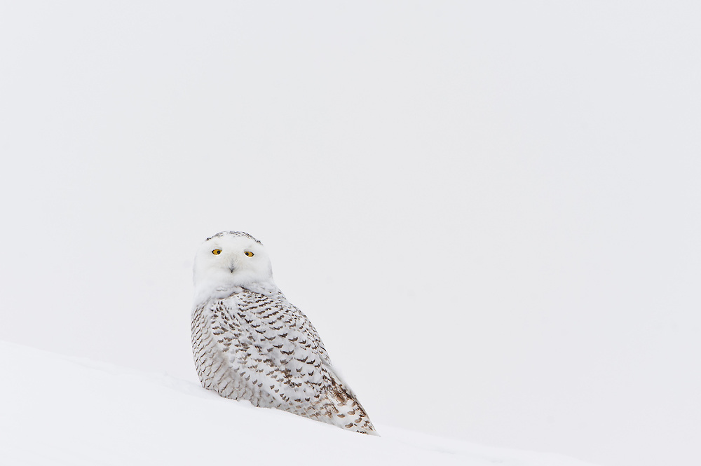 A snowy owl shelters itself from a Winter snowstorm, Polson, Montana