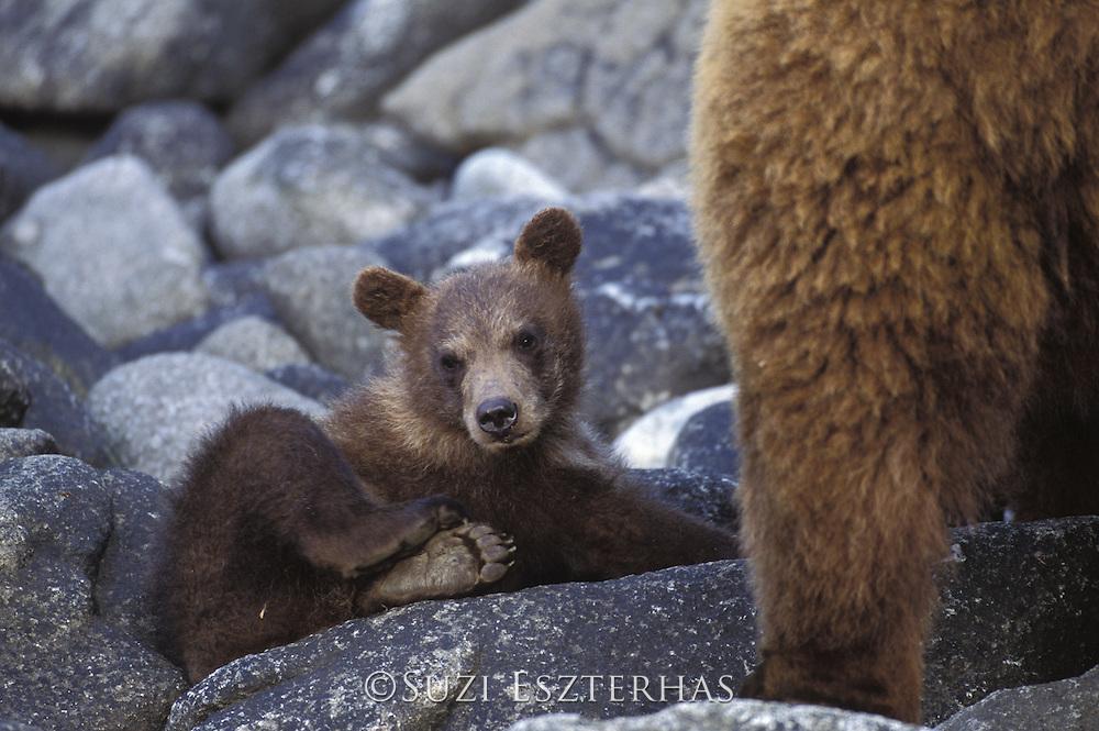 Alaskan Brown Bear<br /> Ursus arctos middendorffi<br /> 4-6 month old cub<br /> Katmai National Park, AK