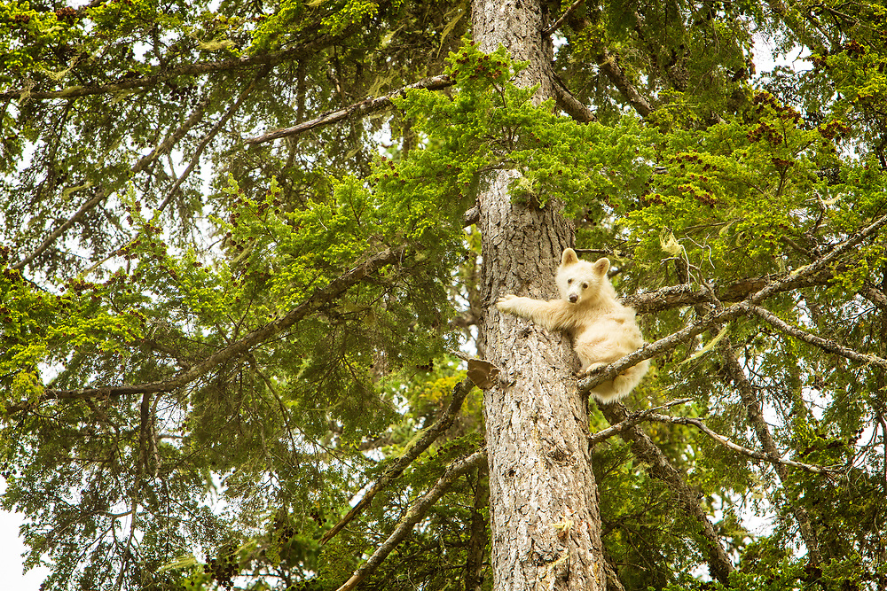 Spirit Bear Cub clambers up a tree like his Black Bear Mothers tells him to in Northern BC - Special!