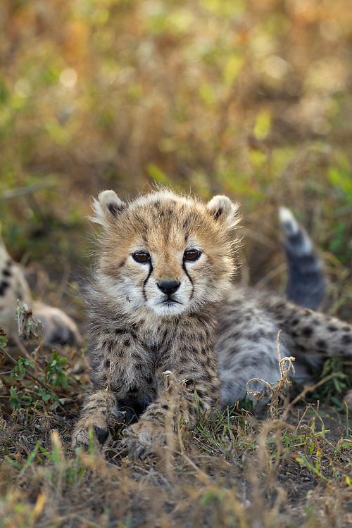 Tanzania, Ngorongoro Conservation Area, Ndutu Plains, Cheetah Cub (Acinonyx jubatas) resting in shade on savanna