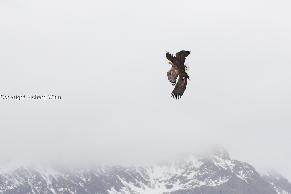White tailed eagle in Trollfjord, in the Lofoten Islands of Norway.