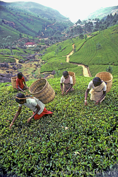 SRI LANKA, AGRICULTURE picking tea leaves on a plantation in the  southern highlands near Nuwara Eliya