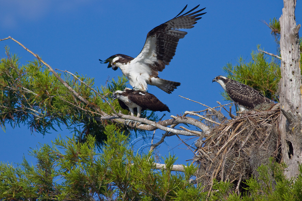 Male osprey, Pandion haliaetus, lands atop female with a chick in nest observing