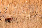 USA, Yellowstone National Park (WY).Black bear (Ursus americanus) cub, cinnamon phase, in Lamar Valley