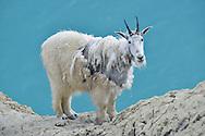 Mountain Goat - Oreamnos americanus