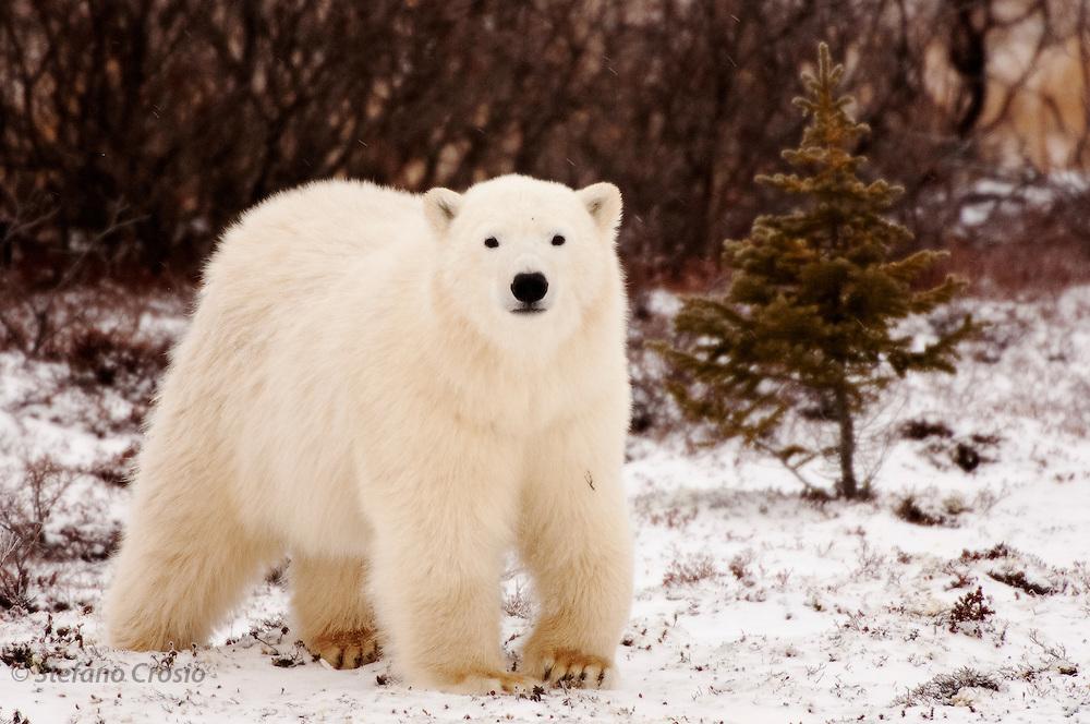 CANADA, Churchill (Hudson Bay).Polar bear (Ursus maritimus) cub and spruce