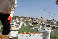 With each hive housing between 60,000-80,000 bees, the women's bee-keeping cooperative estimates that in total well over 2 million bees live inside their 36 hives.<br /> Bil'in, Ramallah, West Bank, Palestine.