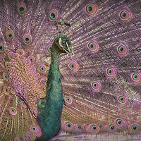 India blue peacock displays magnificent train feathers while calling.  The trumpet-like call of peafowl (a loud kee-ow) advertises the presence of the male.  Violet color tone.