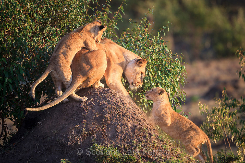 A lioness plays with two pride cubs as they compete for the top of the termite mound.