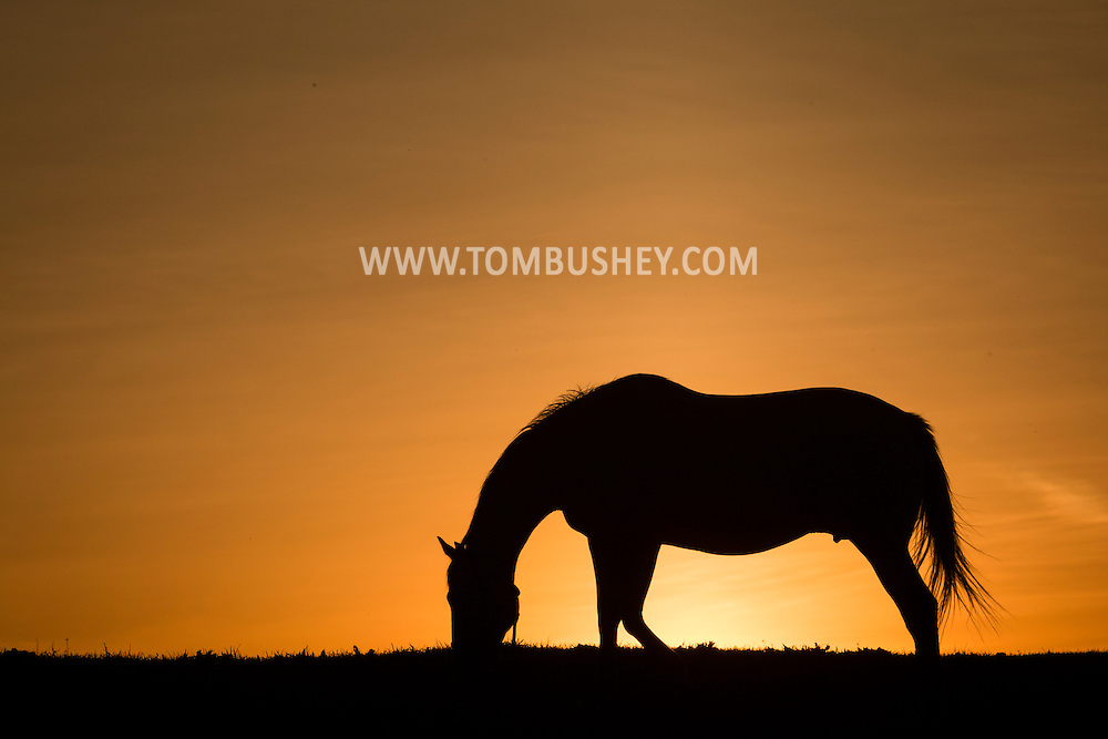 A thoroughbred mare feeds in a field at Hidden Lake Farm in Otisiville, New York.