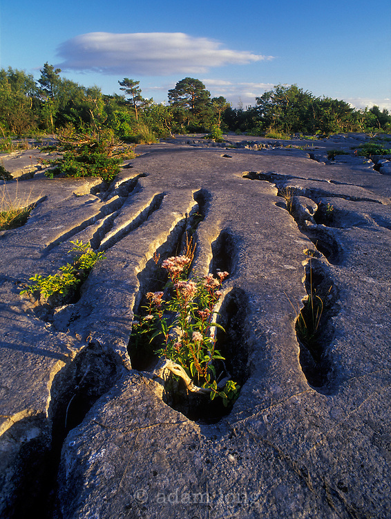 The limestone pavement at Gait Barrows NNR in Lancashire is unusually smooth and continuous. It supports a huge range of flowers and insects