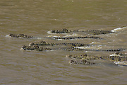 Nile Crocodile<br /> Crocodylus niloticus<br /> Hungry crocodiles moving upriver<br /> Maasai Mara Reserve, Kenya