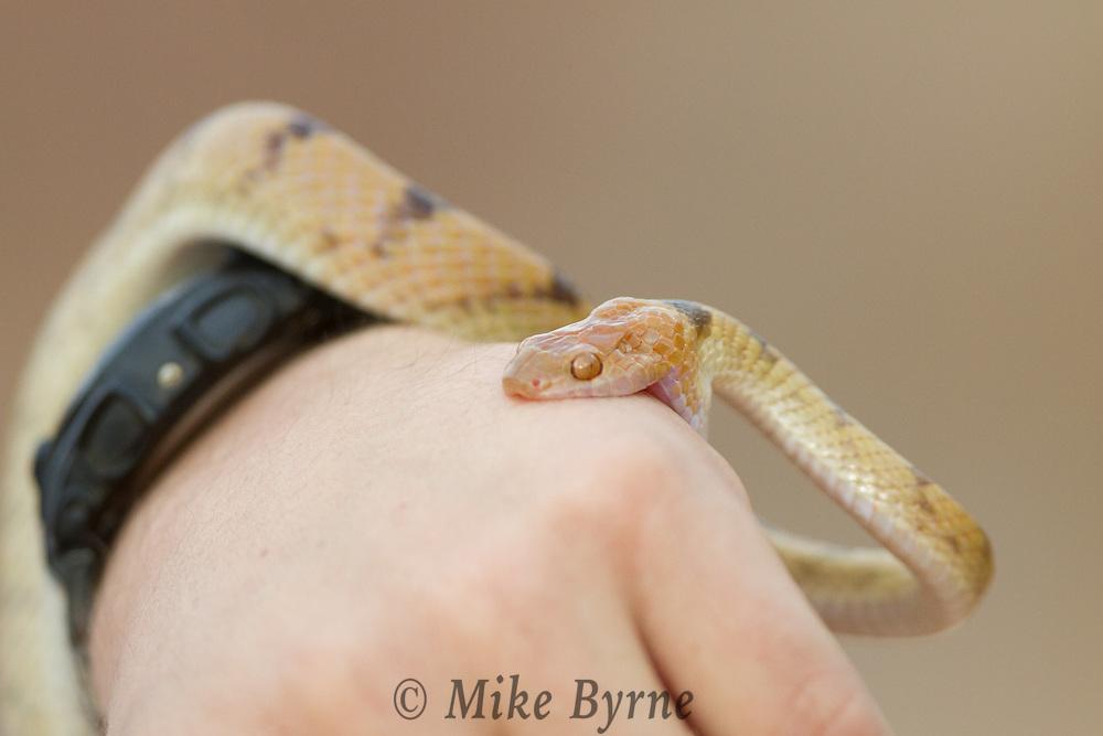 Damara Tiger Snake at Camp Kipwe, Namibia.