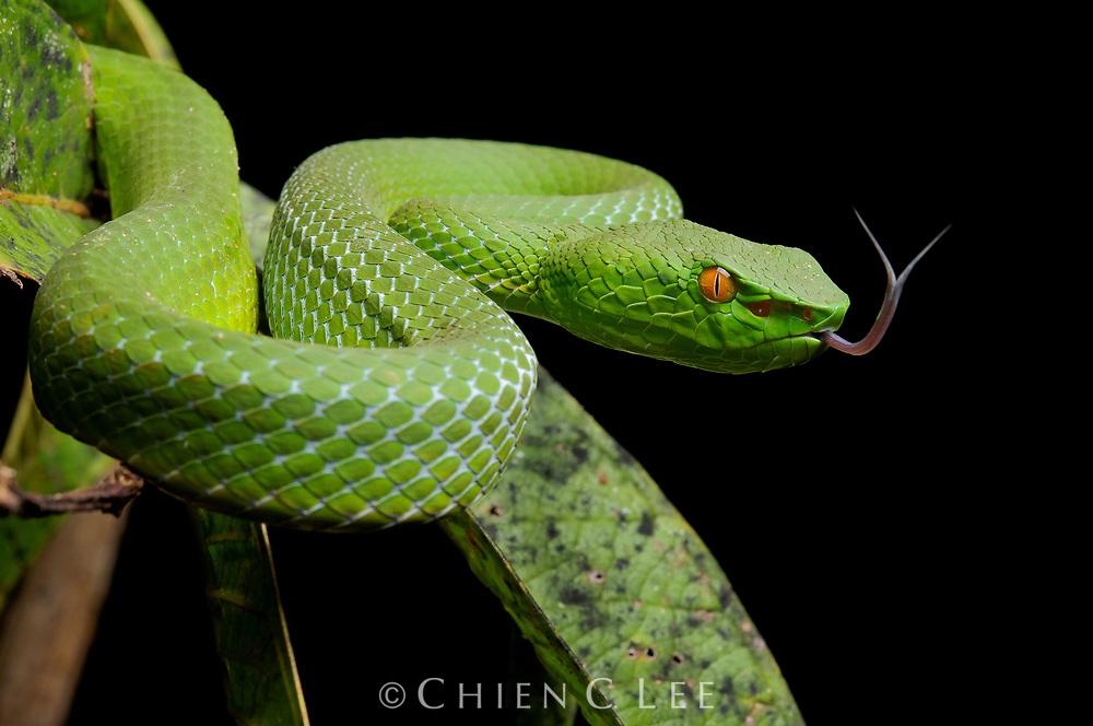 Sabah Green Pit Viper (Popeia sabahi). Sarawak, Malaysia.
