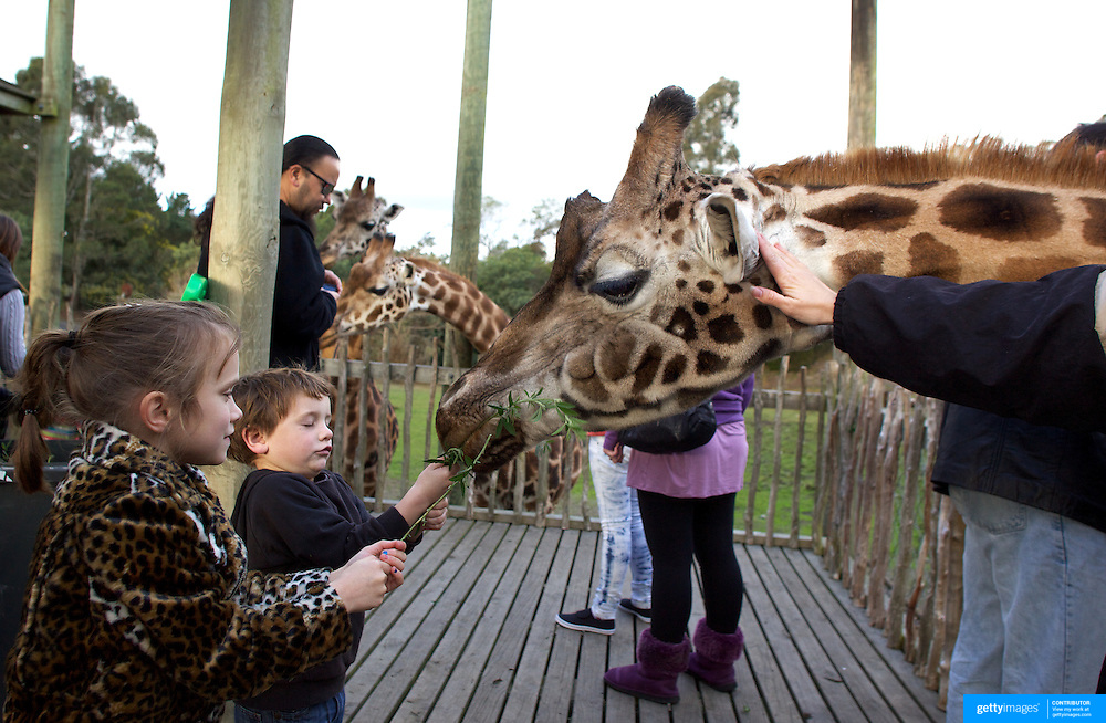 Grandmother Nathalie, a Rothschild Giraffe is fed by children during feeding time at Orana Wildlife Park, Christchurch. Nathalie is 23 years old and has given birth to six calves and is now a grandmother. Orana Wildlife Park is set on 80 hectares, and is New Zealand's only open range zoo. .Over 400 animals from 70 different species are displayed. Mcleans Island Road, Christchurch, New Zealand. 9th June 2011. Photo Tim Clayton.