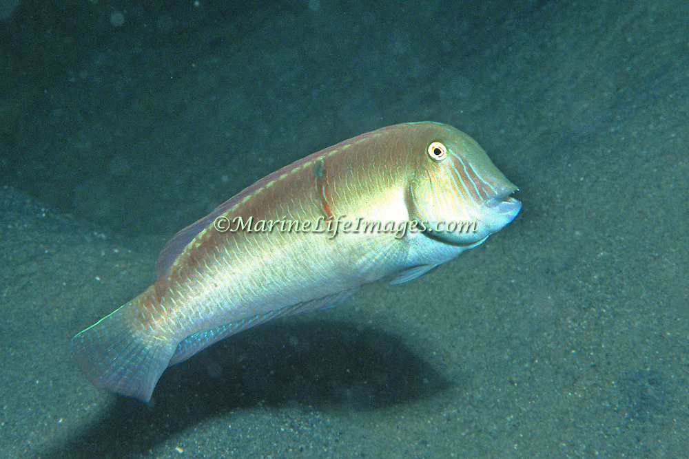 Pearly Razorfish inhabit shallow areas of sand and coral rubble in Tropical West Atlantic; picture taken Key Largo, Fl.
