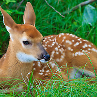 A white-tailed deer (Odocoileus virginianus) fawn beds down for the evening near Big Meadows, Shenandoah National Park, Virginia.