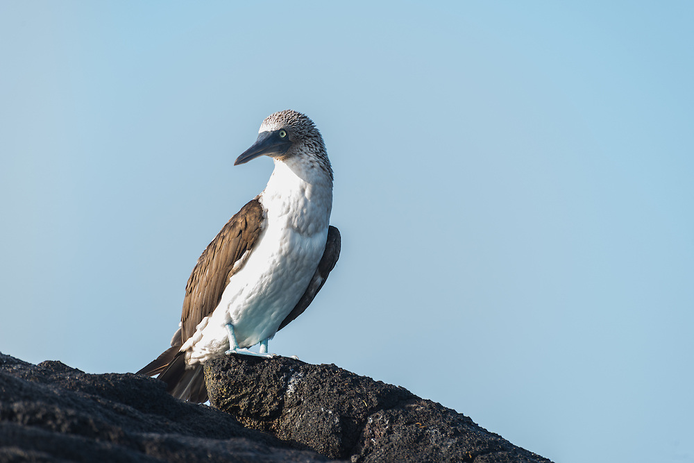 Blue footed boobu sits on the rocks, Isla Isabela, Galapagos, Ecuador.
