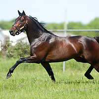 ART COLONY - Standardbred Stallion 2010