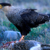 Chile, Torres del Paine National Park, Crested Caracara (Polyborus plancus) feeds on Hare (Lepus capensis)