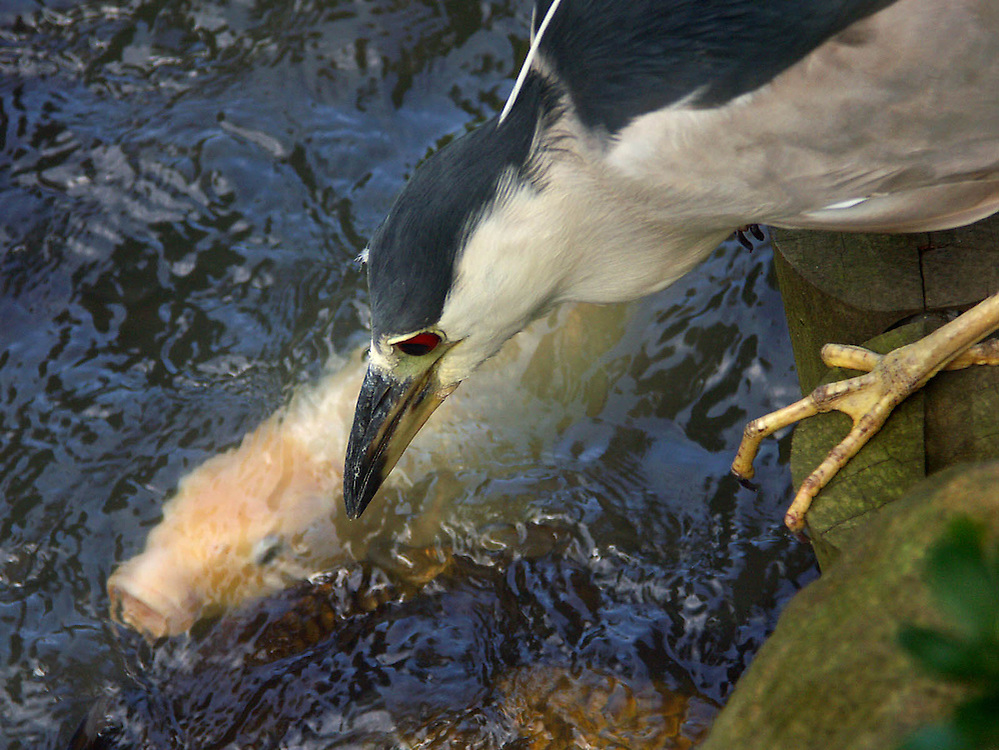 A night heron hunting for gold fish at the Japanese Gardens in the Brooklyn Botanic Gardens. The fish below was a bit too large, fortunately for the fish.
