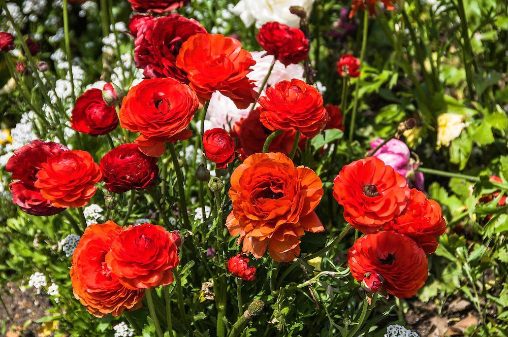 Rose plants at  South Coast Botanic Garden, Palos Verdes, Californina.