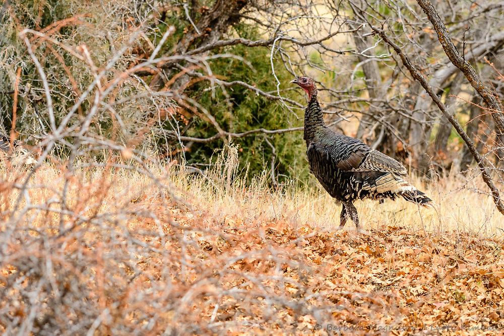 Wild Turkey [Meleagris gallopavo] foraging; Indian Springs, Colorado