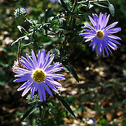 The purple wildflower Bigelow's Tansy Aster, Machaeranthera bigelovii, blooms in the Sonoran Desert of southern Arizona.