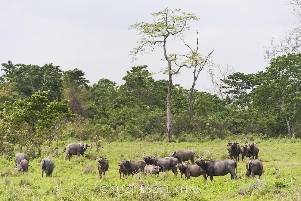 Water Buffalo <br /> Bubalus arnee<br /> Kaziranga National Park, India