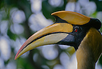 A profile portrait of a Great Hornbill (Buceros bicornis) taken in the wild from a canopy blind.