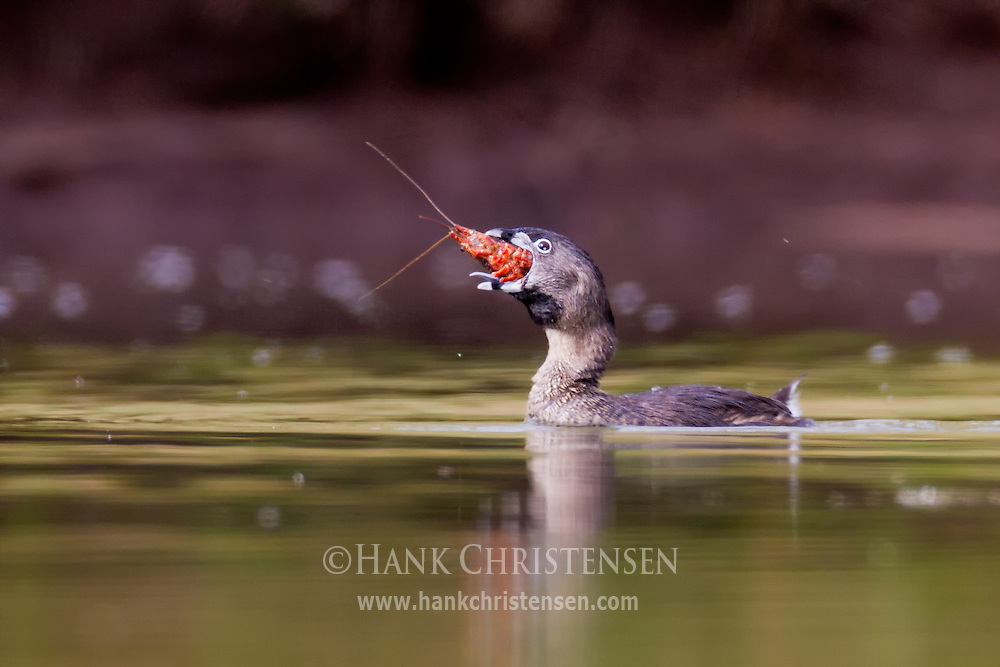 A pied-billed grebe swallows a large crayfish