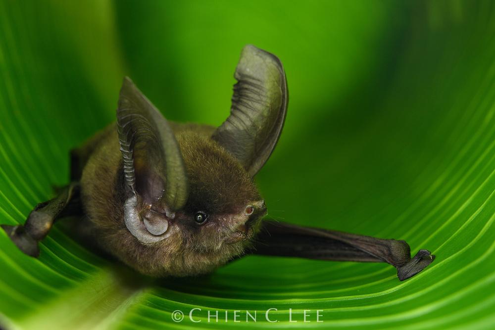 Madagascar Sucker-footed Bat (Myzopoda aurita), female.