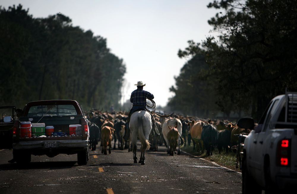 Larry Lawrence drives cattle down FM 562 in Smith Point Sunday September 21, 2008.  The cattle will all end up being sold at Port City Stockyards in Sealy, Texas, since there is no edible grass left in the area due to salt water storm surges.