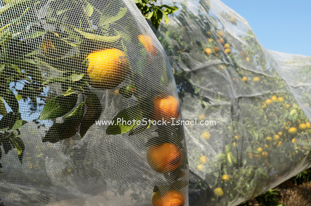 Citrus trees covered in protective covers Photographed in Nahalal, Israel
