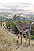 Palestine mountain gazelle (Gazella gazella gazella) Juvenile, Female Photographed in The Galilee, near Yavniel, Israel in May