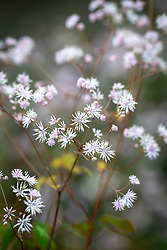 Thalictrum ichangense